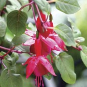 Guatemalan May Blossons