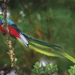 An incredible Janson photo of the elusive quetzal, Guatemala's national bird
