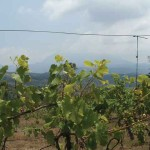 The view, from the back of the Chateau, looks across vines, with clusters of new grapes, to the cloud-shrouded Pacaya volcano
