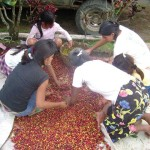 Guatemalan workers sort coffee cherries in Mazatenango