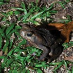 The poisonous Bufo marinus toad