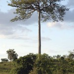 Ceiba tree in Peten