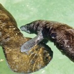 Young manatee keeps close tabs on its mother