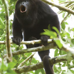 An adult howler monkey giving a shout out