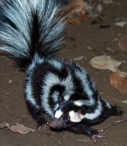 A beautifully striped skunk searches for dinner