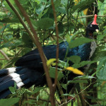 Oreophasis derbianus—the Horned Guan!