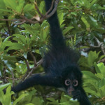 Spider monkey at Los Tarrales