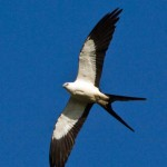 Swallow-tailed kite rides the thermals