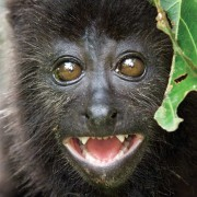 A curious, and extremely cute, baby howler monkey