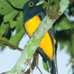 A violaceous trogon at Yaxhá (photo by Thor Janson)