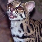 Margay, resident of the Yaxhá Lagoon. (photo by Thor Janson)