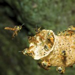 Mayan Stingless Honeybees