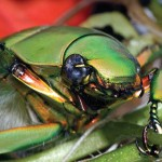 Beetles comprise the largest order of animals on Earth
