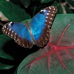 Morpho butterfly