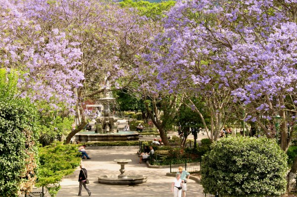 Jacarandas at Central Park in Antigua Guatemala by photos.rudygiron.com