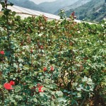 """Mother"" rose plants are used for grafting (image by photos.rudygiron.com)"