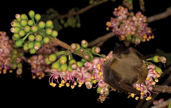 I estimate 200 or more bats converge on a single ceiba tree for the nectar released during flower blooming.