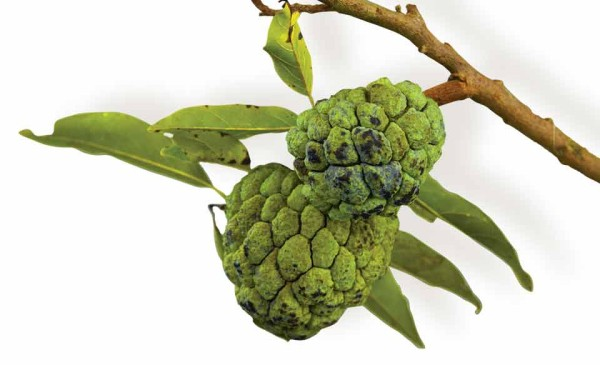 Annona squamosa or sugar apple, Studio FLAAR (photo: Sofía Monzón)