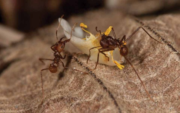 Leaf cutting ants (photo by Dr. Nicholas M. Hellmut)