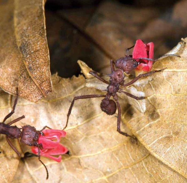 Leaf cutting ants (photo by Sofia Monzon)