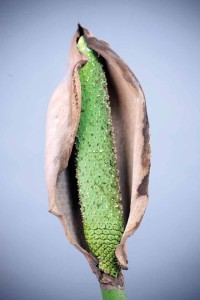 Spike and spadix of an immature flower (photo by Sofía Monzón)