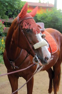 A happy and healthy Rosie sporting her new bridle, saddle pad, and fly bonnet (photo by César Tián)