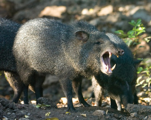 Collared peccary, the most dangerous animal in the jungle