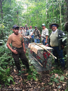 Carrying the macaws to the release site