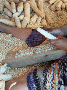 The process of degranulation, the bare cobs are used for animal feed and cooking fires.