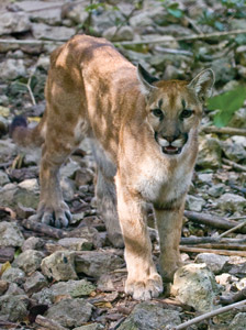 Mountain Lion Guatemala