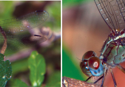 site-feature-dragonflies
